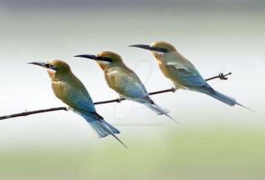 Blue-tailed Bee-eaters by Jamie-MacArthur