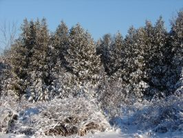 Snow-Covered Pine Trees 2 by FantasyStock