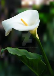 Calla Lily Gradient Mesh Study by Helen-Baq