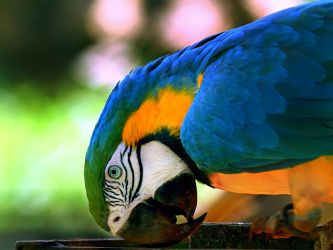 Brazilian Parrot - kind of by labar