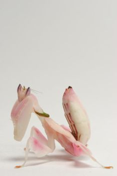 orchid mantis 2 by bugalirious-STOCK