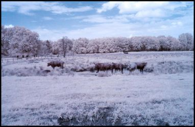Water Buffaloes infrared by MichiLauke