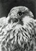 Feathery Falcon by CubistPanther