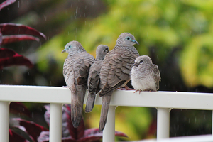 Dove Family by IslandWriter