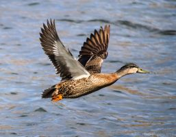 Ducks Away... by ARC-Photographic