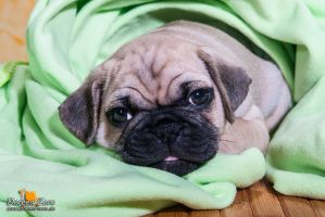 Pug puppy by Kirikina