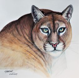 Buttons The Beautiful Mountain Lion  by HouseofChabrier