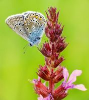 Common Blue by efeline