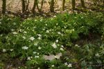 Wood anemone by vertiser