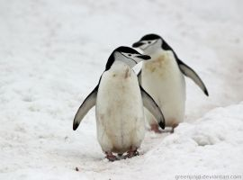 Antarctica :: 019 :: Chinstrap Penguins by greenjinjo