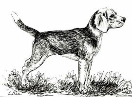 Beagle by happytimer