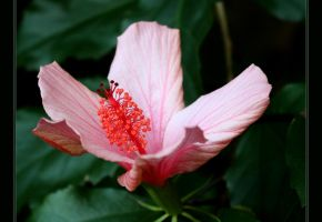 Hibiscus by FilipaGrilo