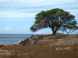 Lonely tree on Kohala coast by JasonYoungdale