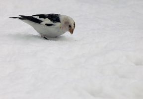 snow bunting 6 by LucieG-Stock