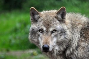Grey Wolf by Tienna