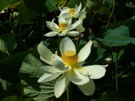 Lotus Flowers by redmatilda