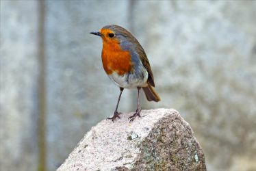 8154 Robin on the rock by RealMantis