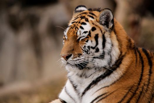 Amur tiger by Quiet-bliss