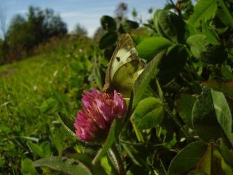 Sulphur On Clover by Pentacle5
