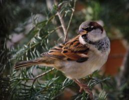 House Sparrow by barcon53