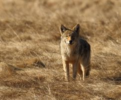 March morning Coyote 2 by natureguy