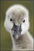 Cygnet Portrait II by nitsch