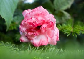 40. Pink rose in a green world by FrancescaDelfino