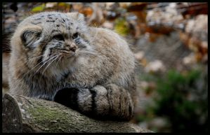 pallas's cat or manul by morho