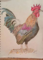 Rooster by Morgaine-Demonia