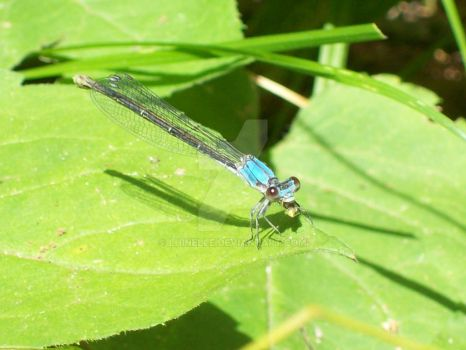blue damselfly, with lunch by lhinelle