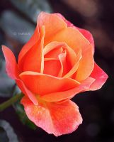 A Love for Roses by Emnais