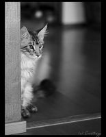 Maine Coon 2 by crentinyy