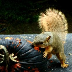 Cappytan Squirrell by OminousandOmnipotent