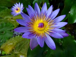Blue Water Lily Flower - the Nymphaea Lotus by Cloudwhisperer67