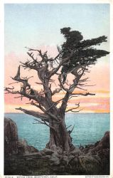 Vintage California - The Witch Tree, Monterey by Yesterdays-Paper