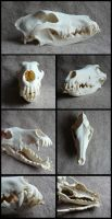 Rough Collie Skull by CabinetCuriosities
