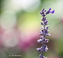 Center of Attention by WildWinyan