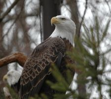 American Eagle by sande74