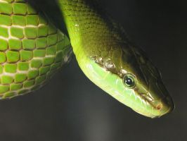 Green Snake by Caprion