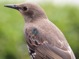 Young Starling by pagan-live-style