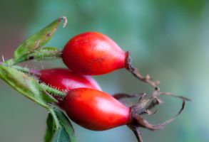 Rose hip by SarahharaS1