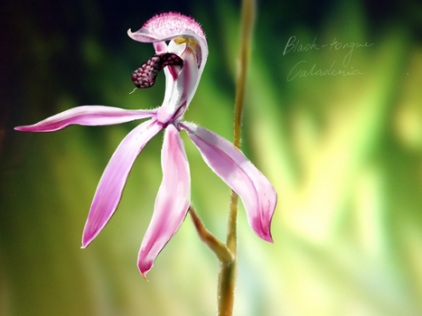 Black-tongue Caladenia by ceredwyn