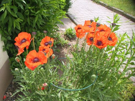 garden_poppy_1 by lolliboy