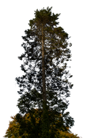 Pine Tree Stock 01 PNG.. by AledJonesDigitalArt