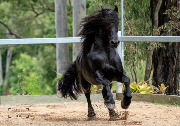 Friesian Stallion stock 15 by xxMysteryStockxx