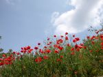 Coquelicots by Flore-stock