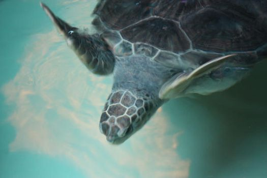 Green Turtle by shimaky