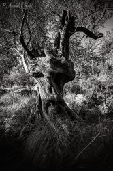 Sir Olive Tree by Annabelle-Chabert