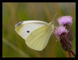 Guest1: Cabbage White by Zyklotrop
