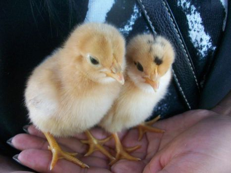 Baby Chickies Pic 2 by Wanderer619